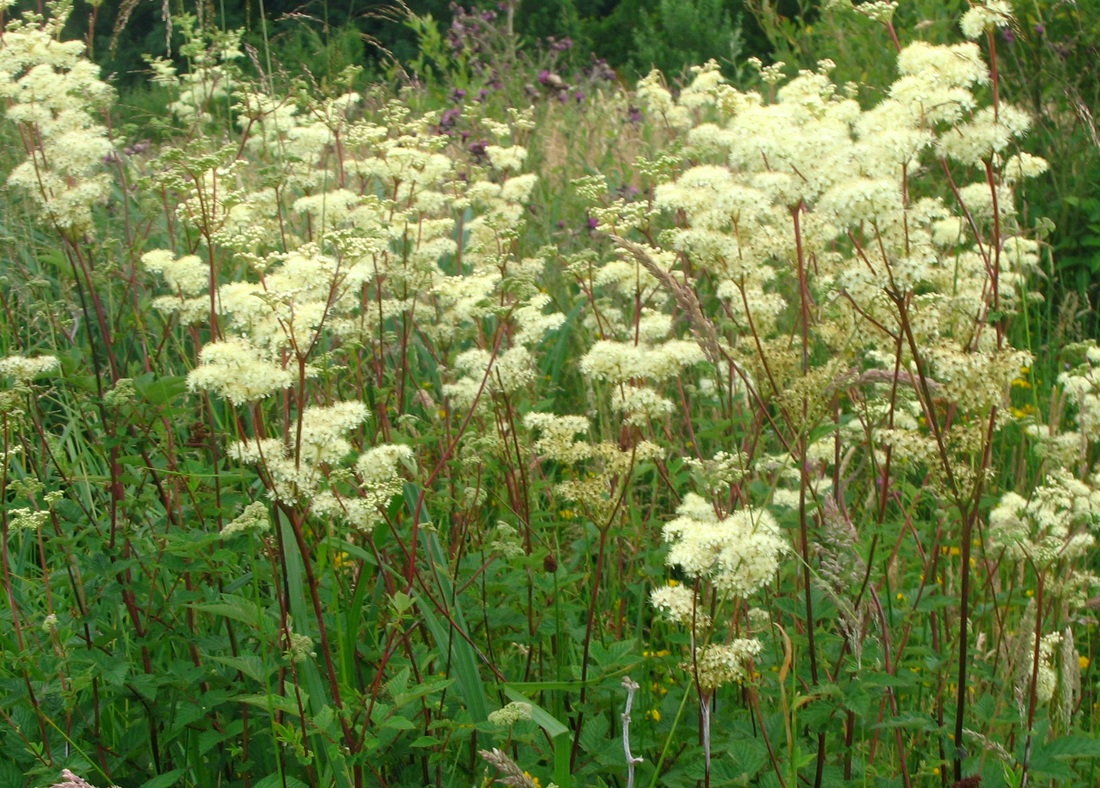 Using herbs in practice - Meadowsweet (Filipendula ulmaria)
